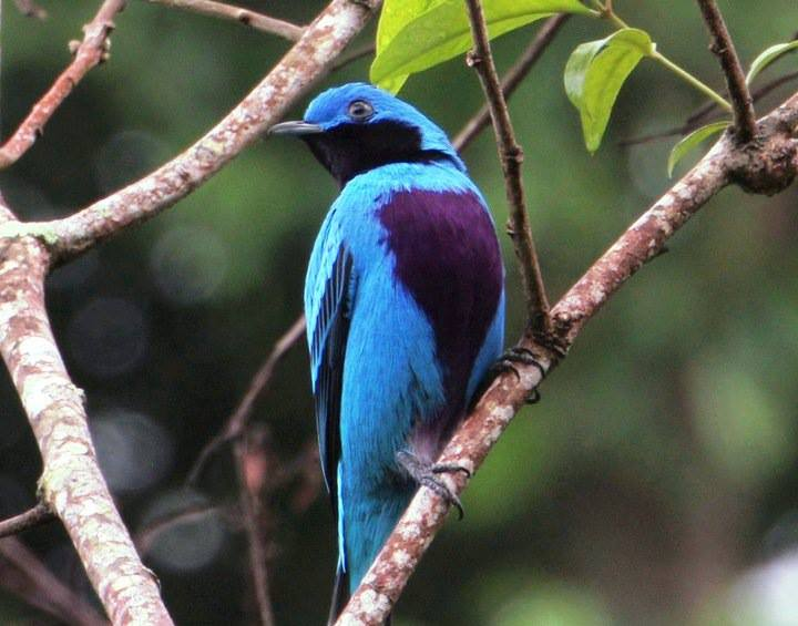 lovely cotinga at Pico Bonito National Park