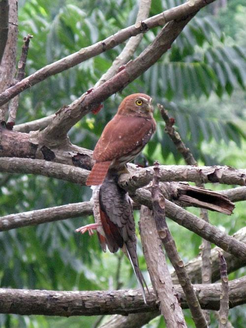 bird watching in Pico Bonito